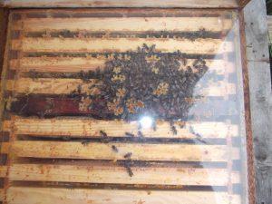 Bienen Überwintern in einer Traube